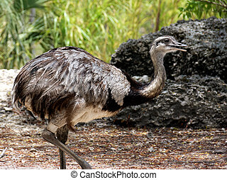 Greater Rhea strutting about with an open beak.