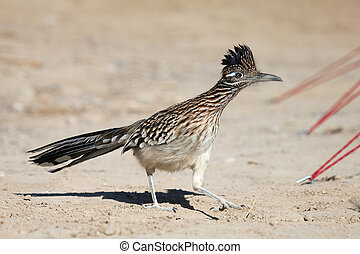 A Roadrunner making its way through a campsite in the furnace creek area of Death Valley National Park