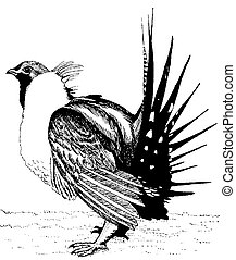 Greater Sage-Grouse - male Centrocercus urophasianus Pen-and...