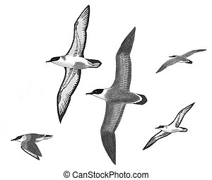 Greater Shearwater - Puffinus gravis - 5 flying