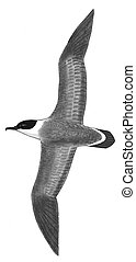 Greater Shearwater - Puffinus gravis - from above