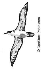 Greater Shearwater - Puffinus gravis - from below