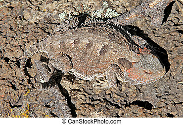 Greater Short-horned Lizard 1