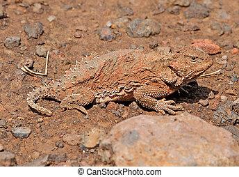 Greater Short-horned Lizard (Phrynosoma hernandesi) in...