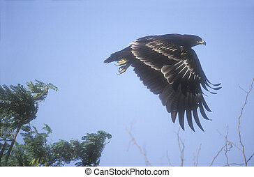 Greater-spotted eagle, Aquila clanga, single bird in flight...