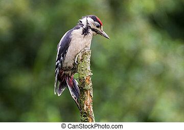 Greater Spotted Woodpecker (Dendrocopos Major)