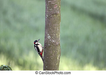 Greater Spotted Woodpecker feeding