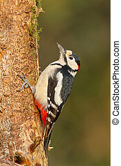 Greater spotted woodpecker on tree