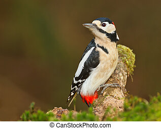 Greater spotted woodpecker sitting