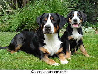 Greater Swiss Mountain Dog, adlut and puppy. Outdoor portrait.