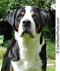 Greater Swiss Mountain Dog, adult. Outdoor portrait