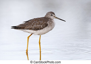 Greater Yellowlegs wading in a shallow pond - Florida
