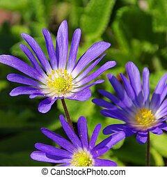 greco, windflower