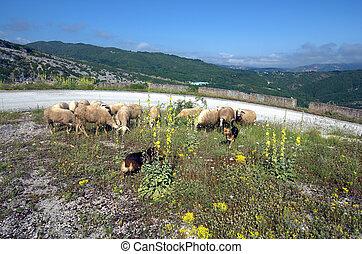 Greece, Epirus, sheepdaogs and flock of sheep in Tzoumerka national park