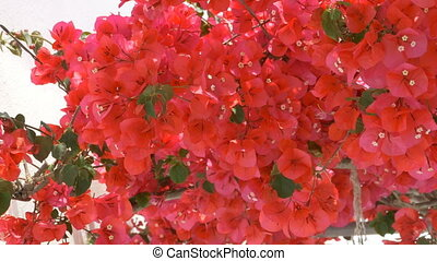 Greek Red Flowers - Greek red flowers in mediteranean.