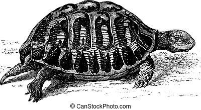 Greek tortoise, vintage engraving. - Greek tortoise, vintage...