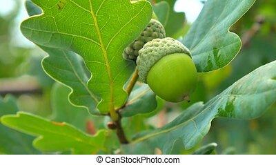 Green acorn on the oak. Acorns on the tree.