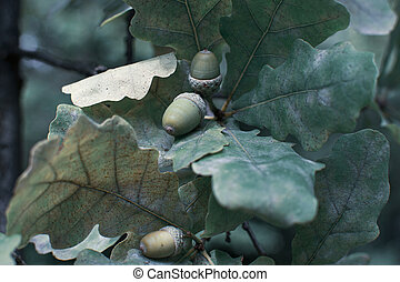 Green acorns hang on a branch in the forest