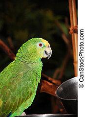 Green african parrot