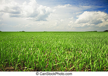 agricultural field - green agricultural field under cloudy...