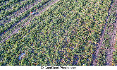 green agriculture field with tomatoes bushes and sunset -...