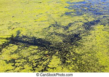 Green algae and duckweed in water