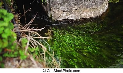 Green algae in the river water.