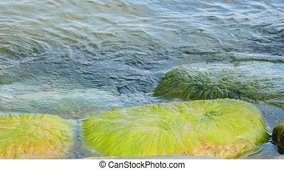 Green algae, such as beards, attached to rocks.