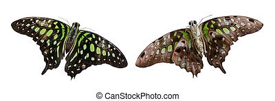 Green and black butterfly isolated on white with clipping path