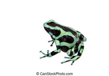 Green-and-Black Poison Dart Frog isolated on white -...