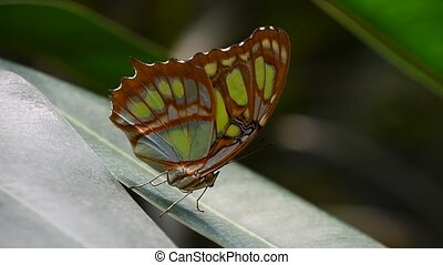 Green and brown tropical butterfly on leaf