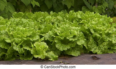 Green and fresh lettuce - A medium shot of green and fresh...