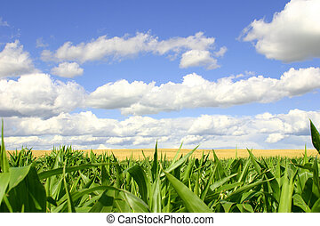 Green and Gold - A picture of a green cornfield in the...