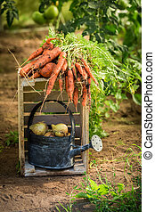 Green and red carrots in summer greenhouse