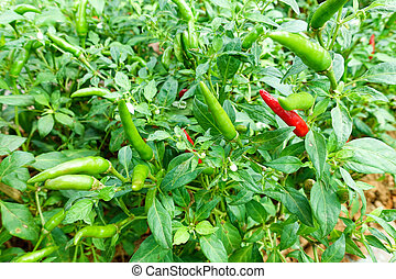Green and red pepper on the tree