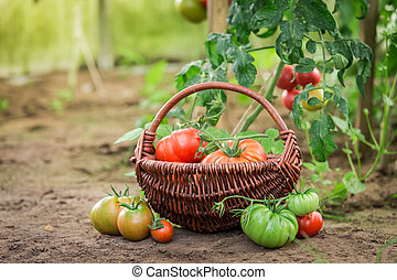 Green and red tomatoes in small summer greenhouse