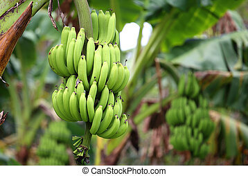 green and unripe cultivator bananas on tree