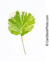 Green and white leaf isolated on a white background
