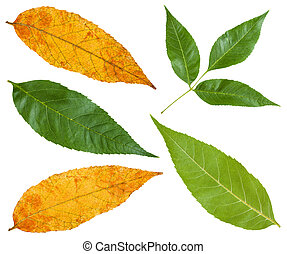 green and yellow autumn leaves of ash tree - set from green...