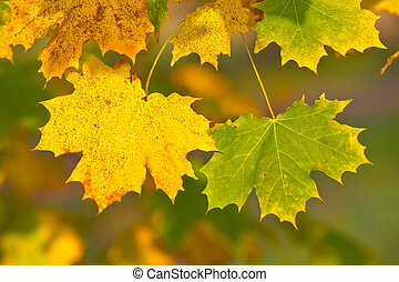 green and yellow maple leaves in fall with shallow depth