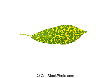 Green and yellow leaf isolated on a white background