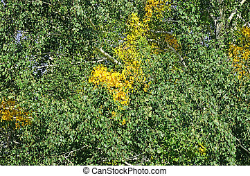 Green and yellow leaves of birch