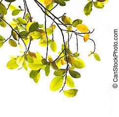 Green and yellow leaves on white background