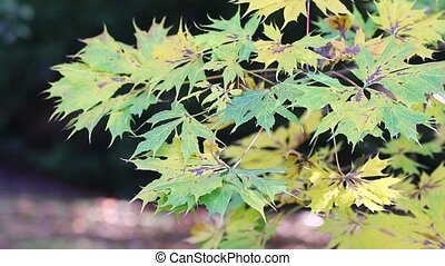 Green and yellow maple leaves