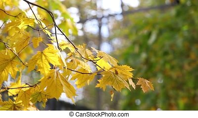 Green and yellow maple leaves on sunny autumn day pan video