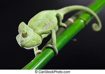 Green animal, Chameleon