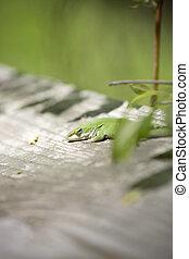 Green Anole - Green anole (Anolis carolinensis) on a wooden...