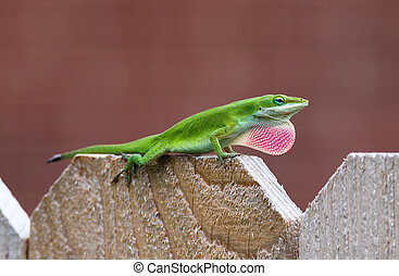 Green Anole lizard (Anolis carolinensis) showing off his...