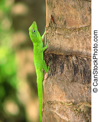 Green Anole - Male green anole,Found in Puerto Rico forest