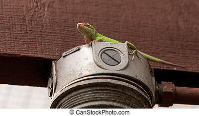 Green anole scientifically known as Anolis Carolinensis can...